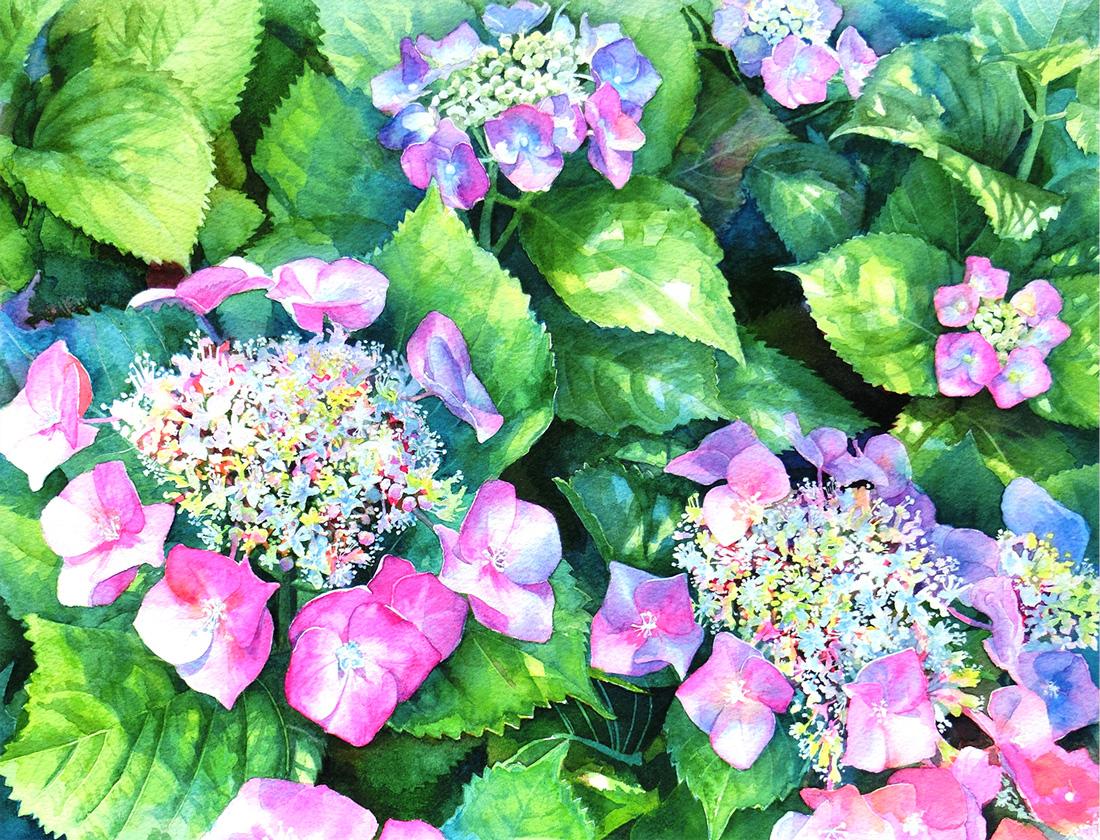 紫陽花の花の水彩画(Watercolor painting)
